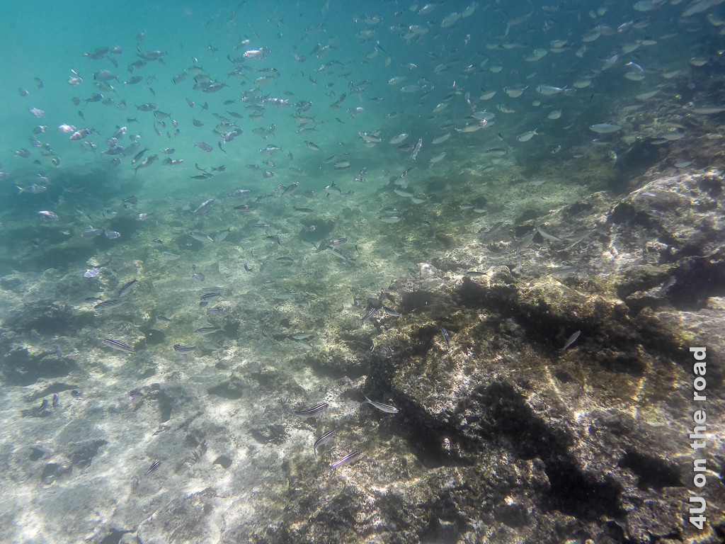 Inmitten vieler Fische beim Schnorcheln am Chinese Hut - Reisebericht Galápagos Kreuzfahrt