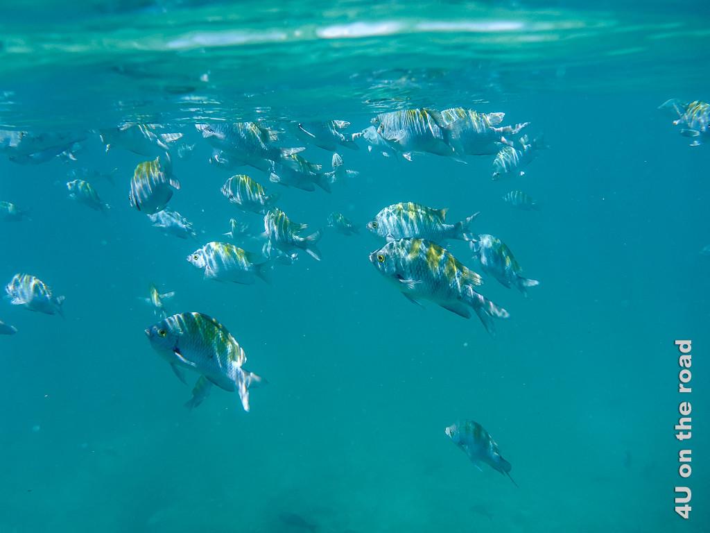 Unter der Wasseroberfläche - Fische beim Schnorcheln am Chinese Hat