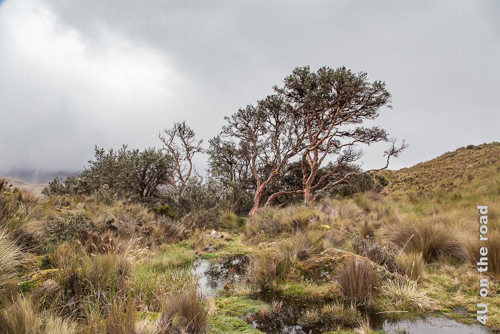 Wir nähern uns dem Polylepis Wald im Cajas NP