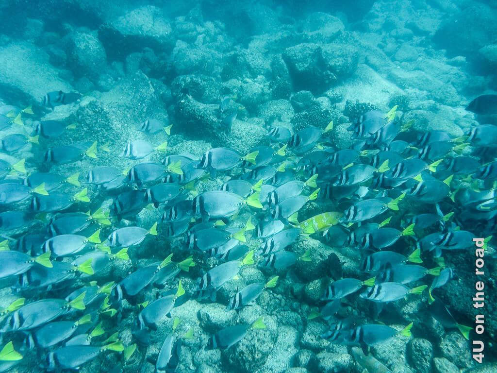 Ein Schwarm Doktorfische - Reisebericht Galápagos Kreuzfahrt