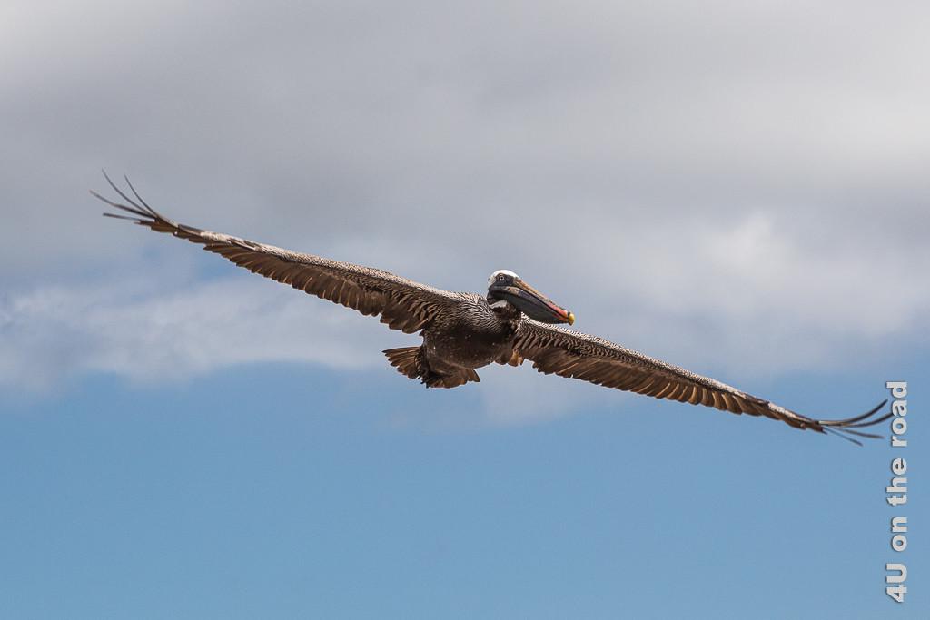Segelnder Pelikan am Espumilla Beach - Reisebericht Galápagos Kreuzfahrt