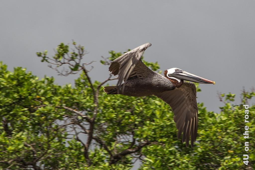 Pelikan im Flug - Reisebericht Galápagos Kreuzfahrt