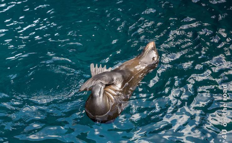 Featurebild Tiere auf Galápagos - im Bild im Wasser treibender Seebär