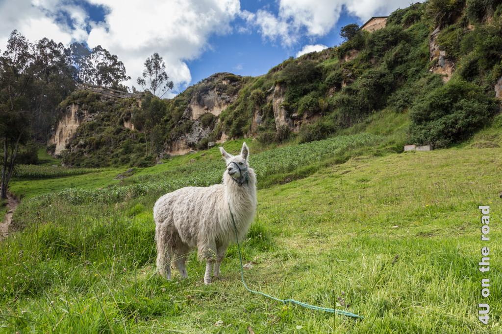 Felder und Lama entlang des Weges zum alten Inkagesicht