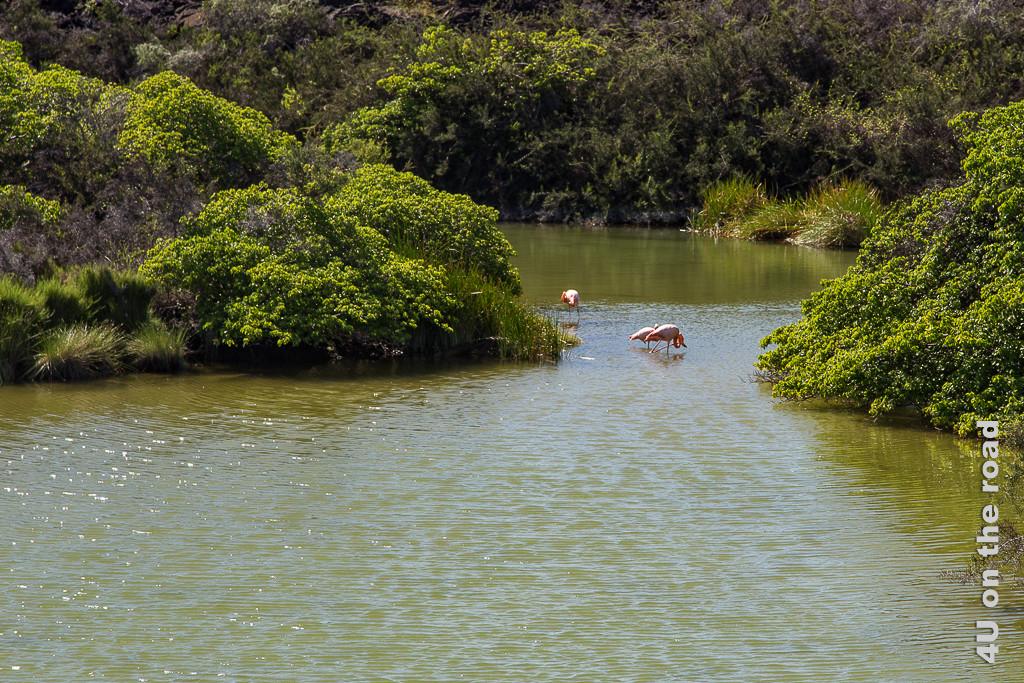 Flamingos auf der Insel Isabella - Reisebericht Galápagos Kreuzfahrt