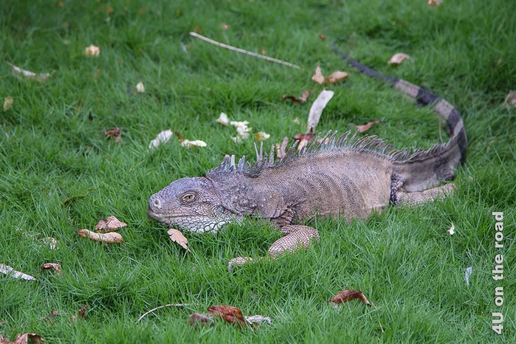 Guayaquil Iguana im Gras auf dem Weg zu einer Palme im Seminario Park