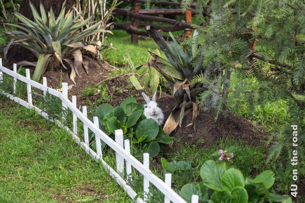 Im Garten der Posada Ingapirca leben Kaninchen frei