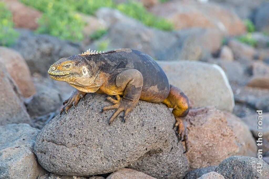 Landleguan - Reisebericht Galápagos Kreuzfahrt