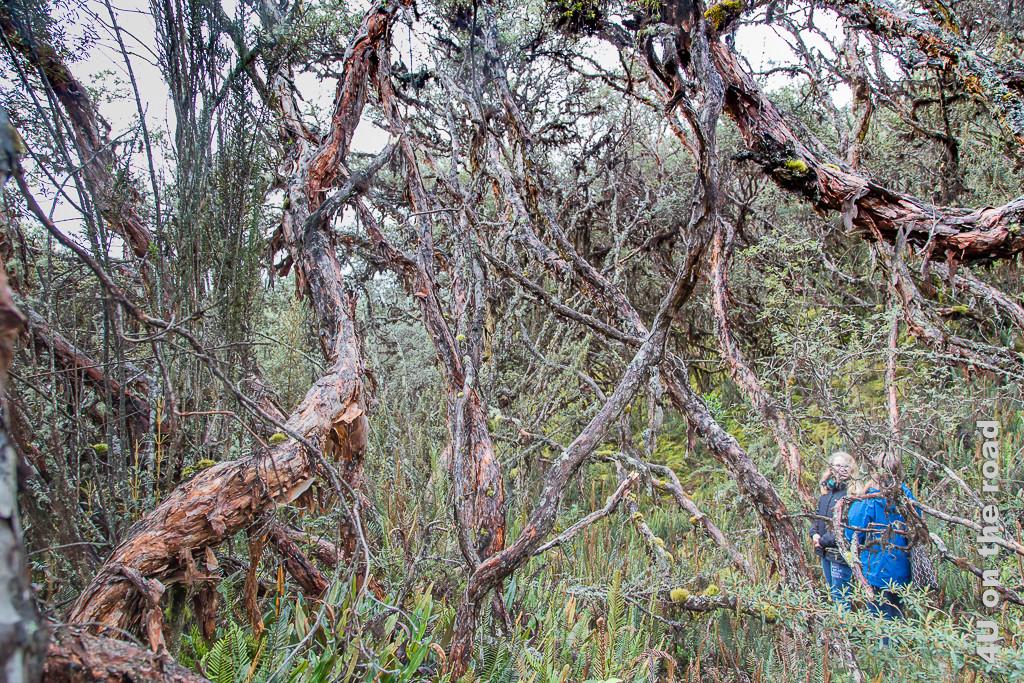 Der Wald aus Polylepis Bäumen ist wie ein verwunschener Märchenwald