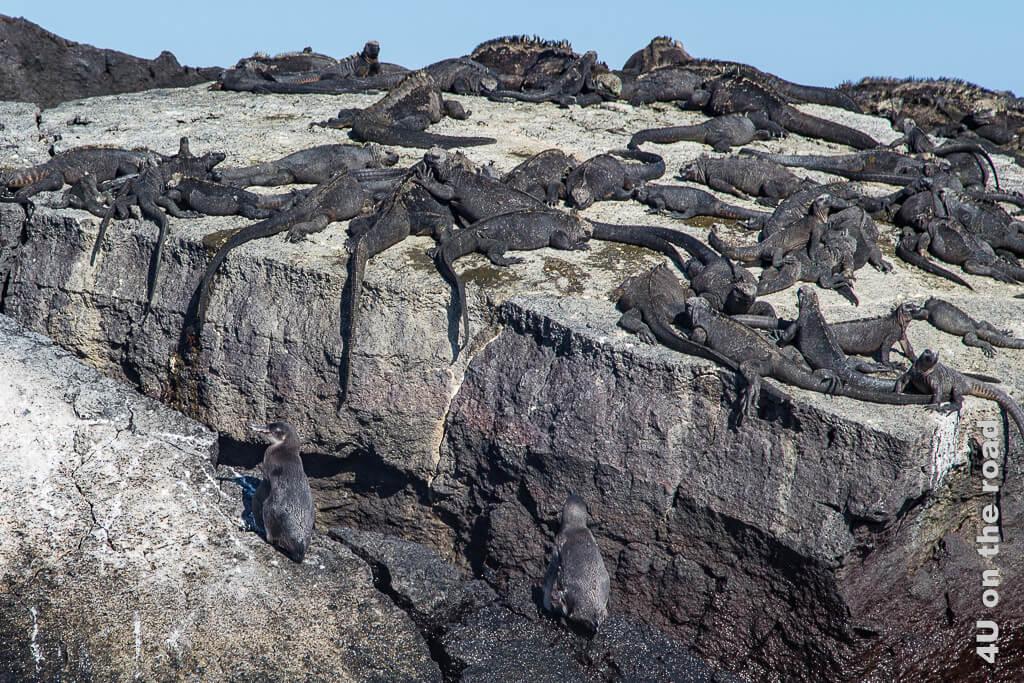 Stilleben - Pinguine und Meerechsen - Reisebericht Galápagos Kreuzfahrt