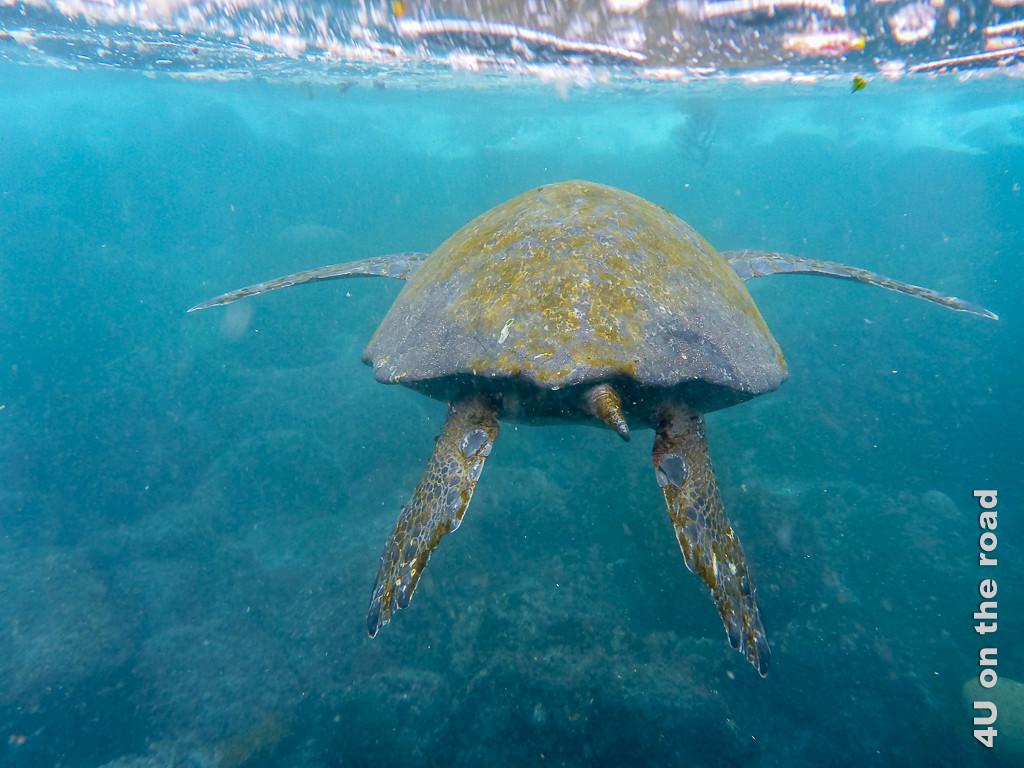 Fliegende Meeresschildkröte - Reisebericht Galápagos Kreuzfahrt