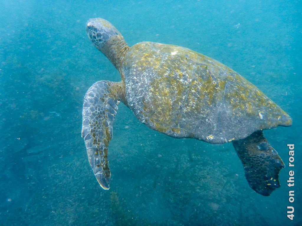 Die Panzer der Meeresschildkröten sind nicht nur Algenbewachsen, sondern teilweise auch recht ramponiert