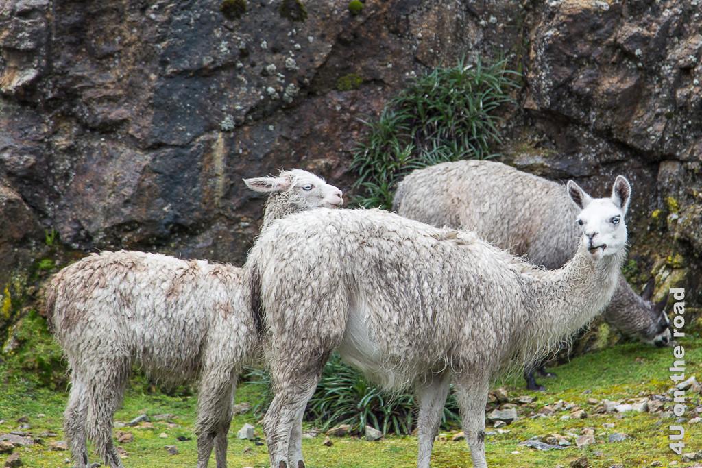 Auf der Passhöhe Tres Cruces regnet es wieder. Diese nassen Lamas fallen mit ihren eisblauen Augen auf.