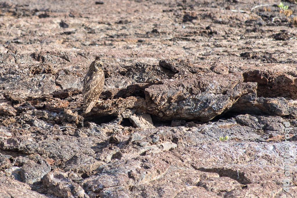 Im Gelände perfekt getarnt - die Sumpfohreule