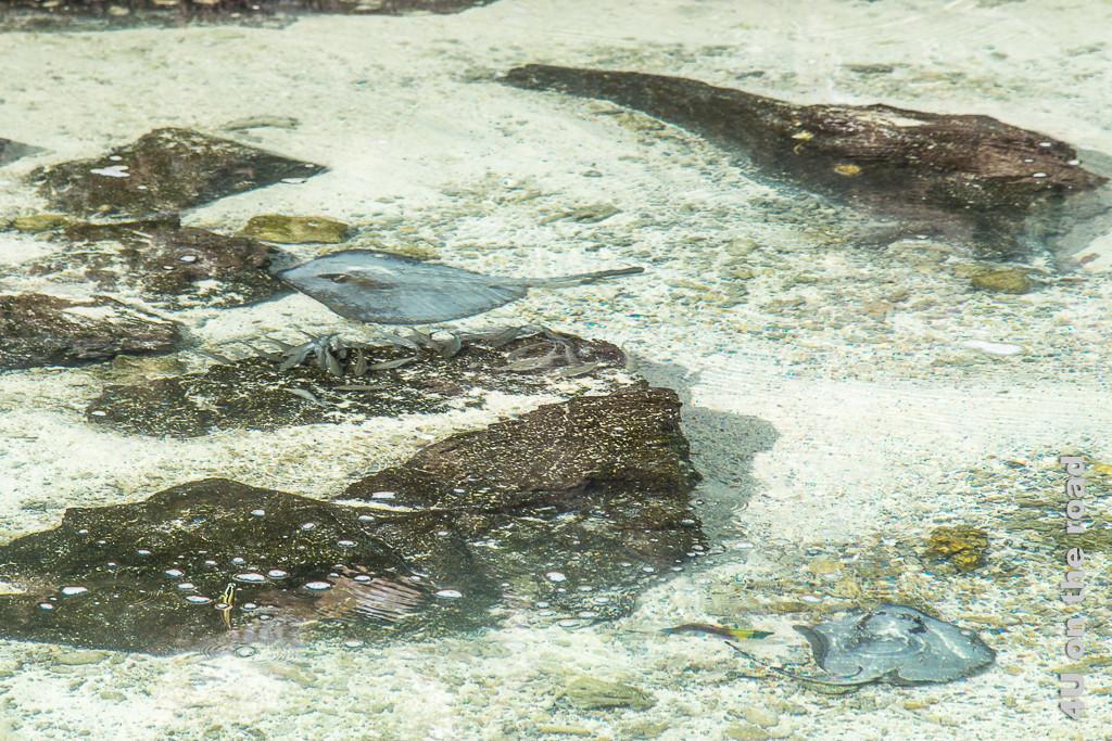 Rochen und Fische im seichten Wasser der Lagune