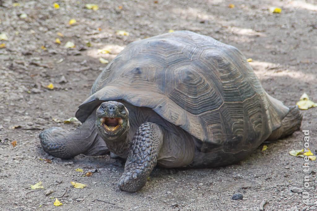Fauchende Schildkröte ärgert sich, dass wir ihren Weg kreuzen - Reisebericht Galápagos Kreuzfahrt