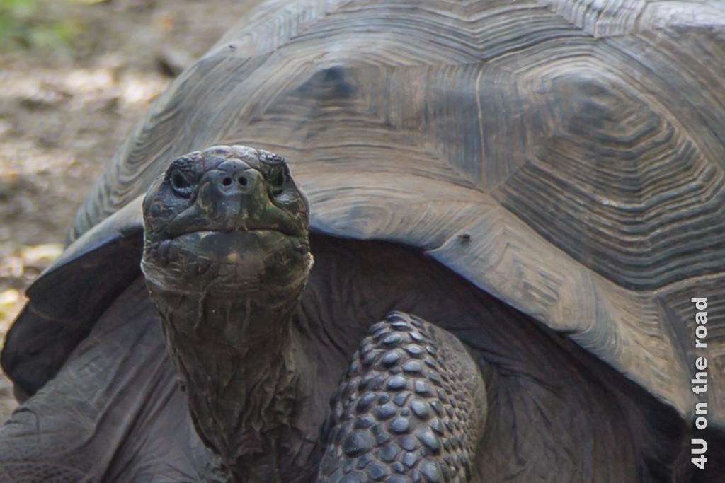 Portrait einer Riesenschildkröte