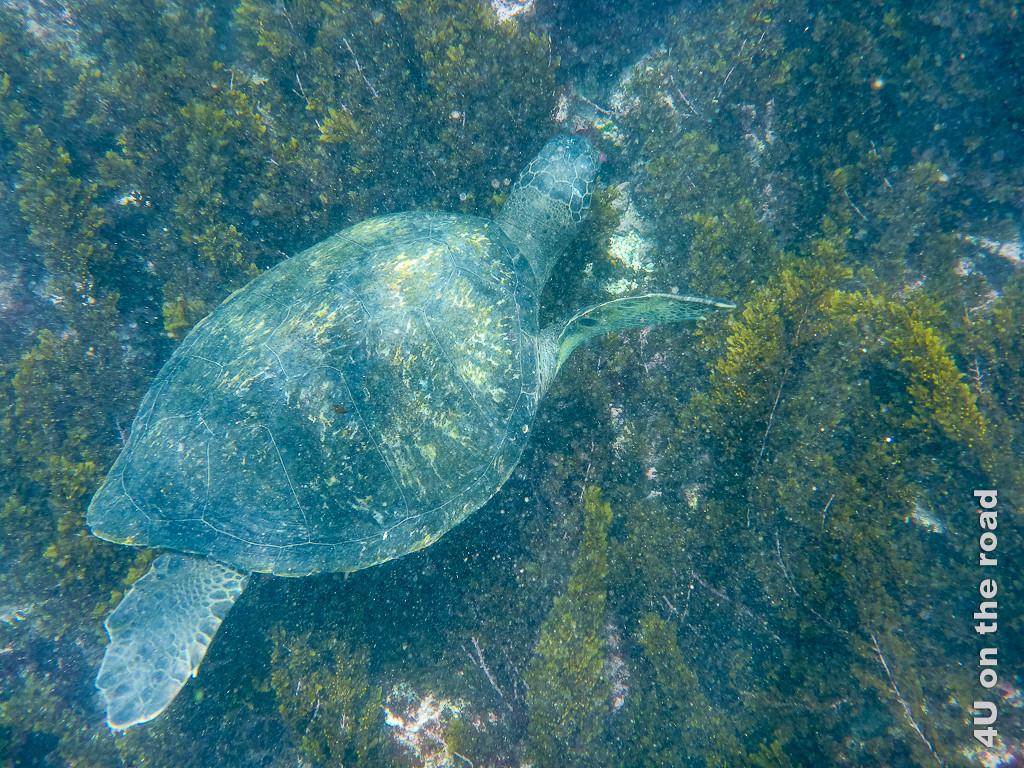 Meeresschildkröte beim Fressen - Reisebericht Galápagos Kreuzfahrt