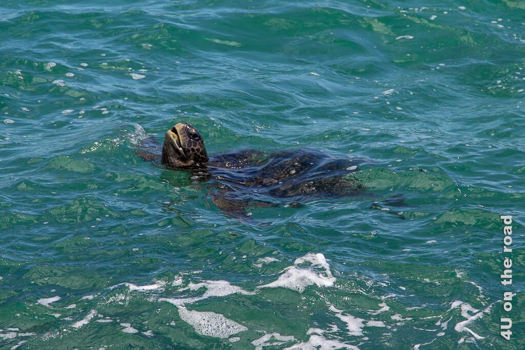 Beim Luftholen - Meeresschildkröte - Reisebericht Galápagos Kreuzfahrt