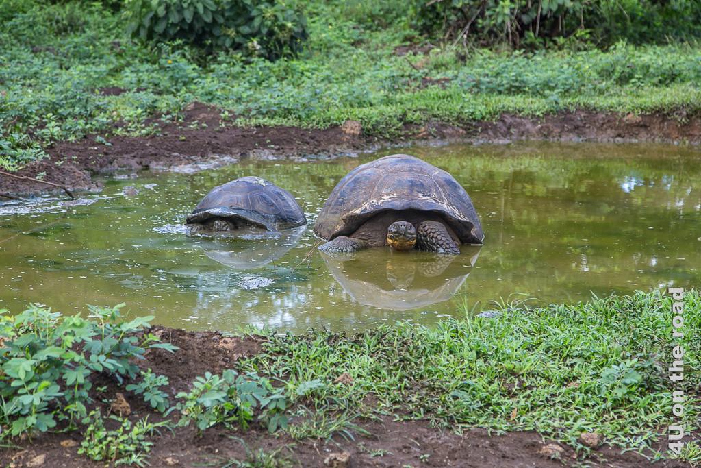 Beim Baden - Riesenschildkröten auf Santa Cruz