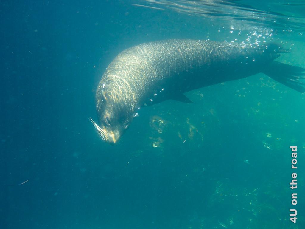 Besuch eines Seelöwens beim Schnorcheln in der Darwinbucht
