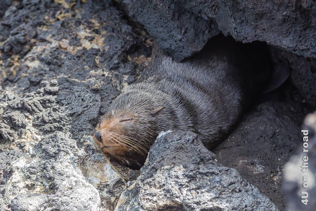 Schlafender Seebär unter einem Felsen auf der Insel Santiago