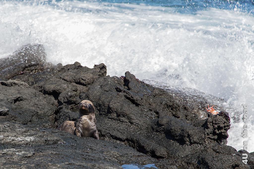 Warten auf die Rückkehr der Mutter - Seelöwenbaby