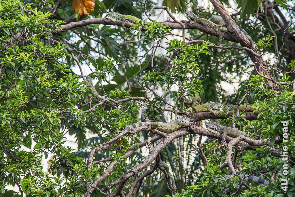 Guayaquil Iguanas auf den Bäumen im Seminario Park.