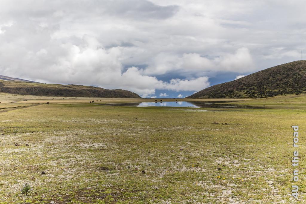 Weidende Pferde im Hochtal bei der Laguna Limpiopungo im Cotopaxi Nationalpark