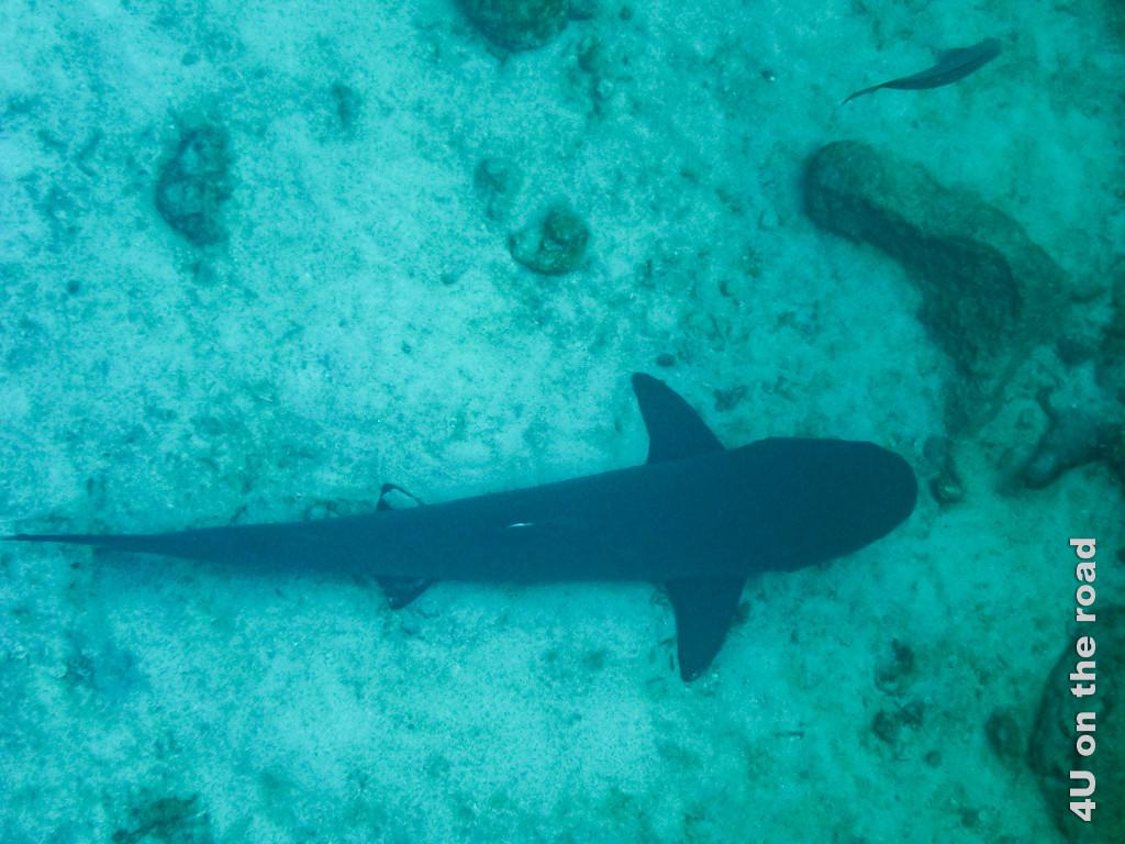 Weissspitzenhai beim Schnorcheln