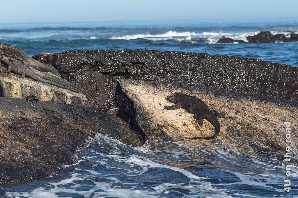 Alte Meerechse beim Aufwärmen und Trocknen auf dem Felsen - Reisebericht Galápagos Kreuzfahrt