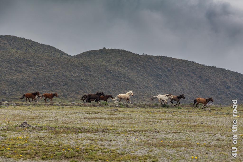Panisch galoppierende Pferdeherde im Cotopaxi Nationalpark