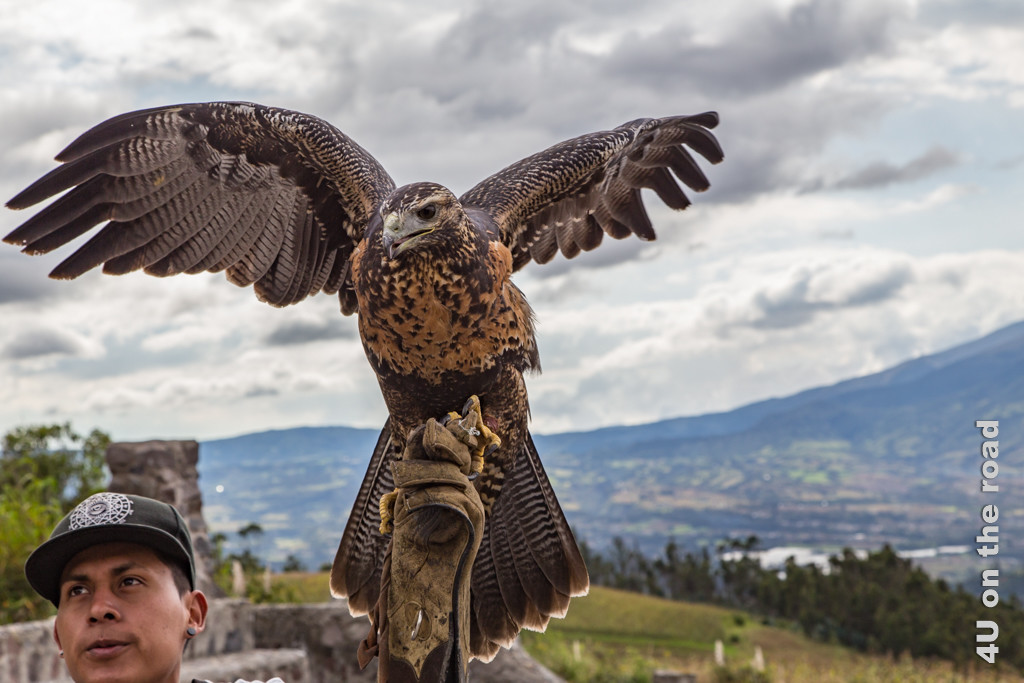 Adler kurz bevor er in die Luft geschleudert wird - Kondor Park Otavalo