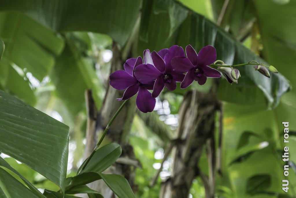Blühende Orchidee im Rascals Kite Resort, Kalpitiya
