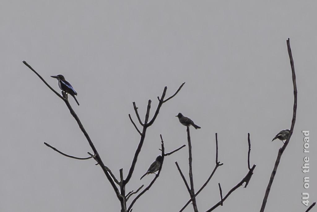 Eisvogel und Bulbul in einiger Entfernung - Vogelbeobachtung Hotel Nice Place