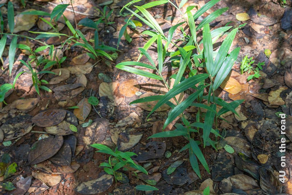 Ingwerpflanzen im Spice Garden - Matale, Gewürze