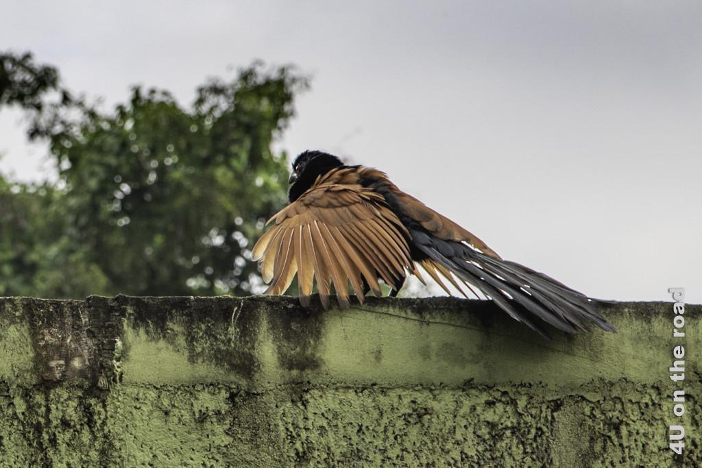Cougal - der Kuckuck mit gespreizten Flügeln - Vogelbeobachtung Hotel Nice Place