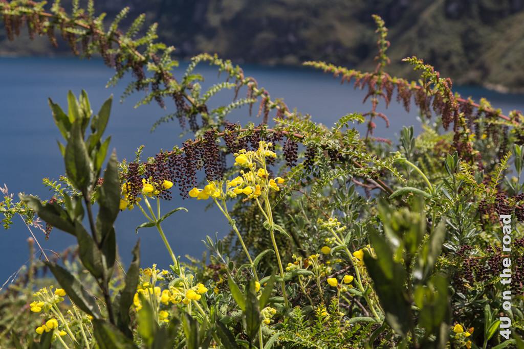 Blüten vor der Laguna de Cuicocha