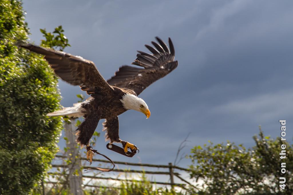 Mit 200 km/h stürzt der Weisskopfseeadler aus grosser Höhe in die Tiefe und landet präzise - Kondor Park Otavalo