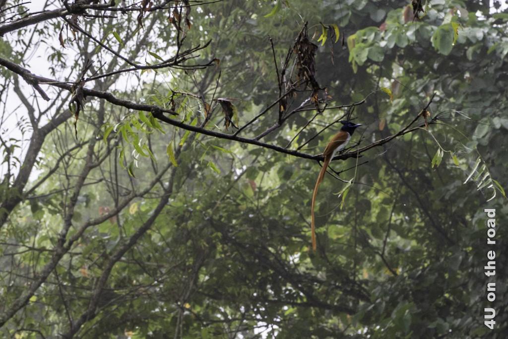 Indian paradise flycatcher - männlich - Vogelbeobachtung Hotel Nice Place