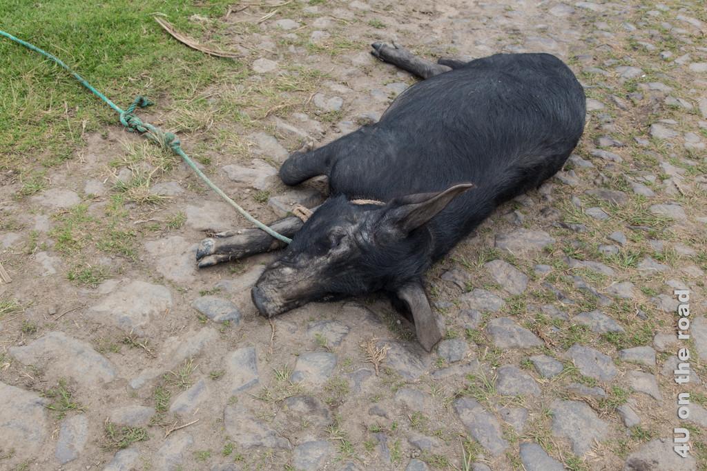 Tief schlafendes Schwein mitten auf dem Weg zum Kondor Park