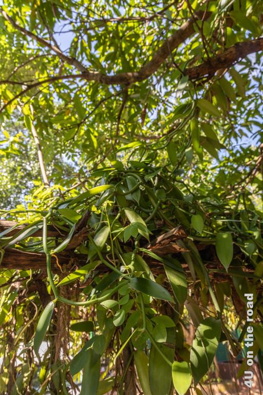 Vanille rankt sich am Gestell entlang - Matale, Gewürze