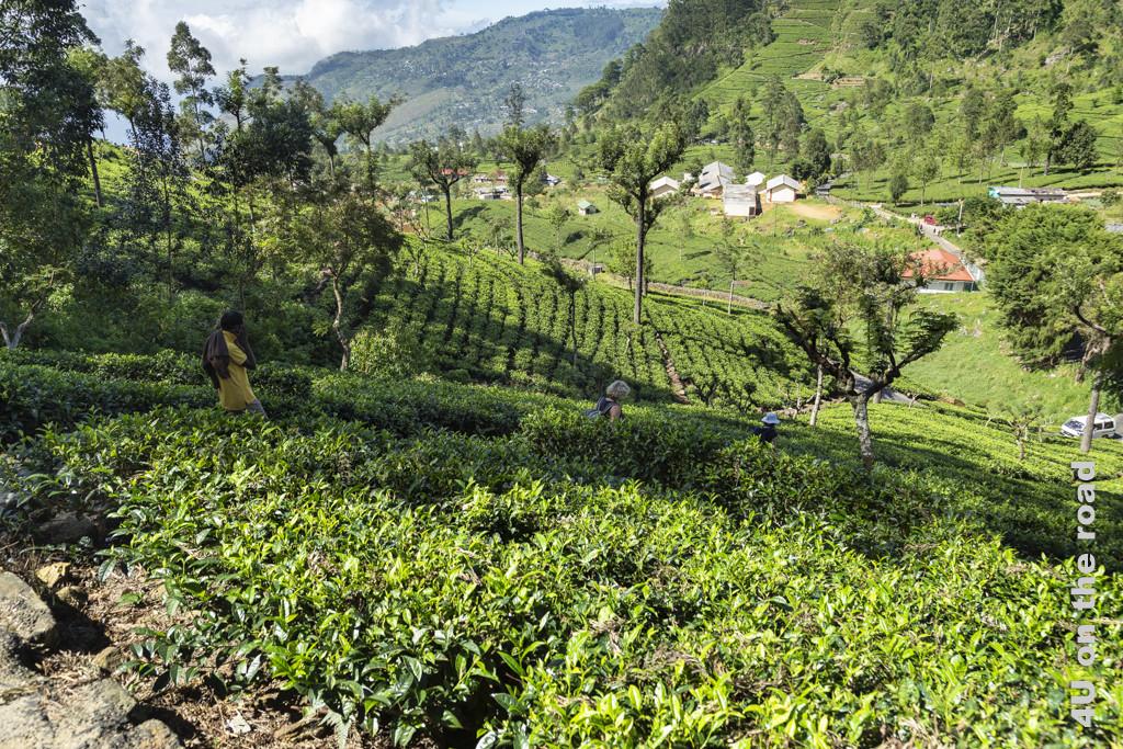 Abstieg durch die Teefelder