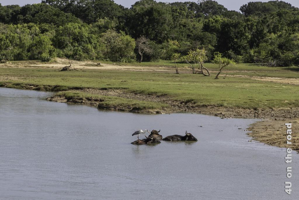 Übung der Balance auf einem Wasserbüffel