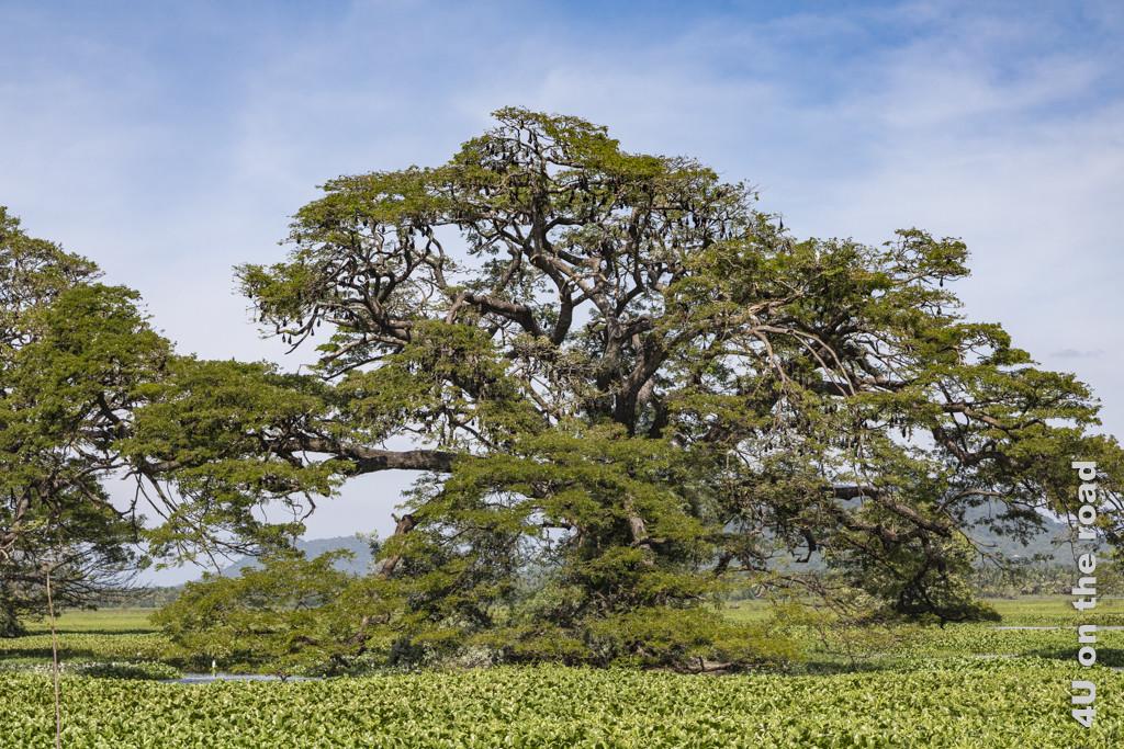 Grosse Bäume behangen mit Hunderten von Flughunden
