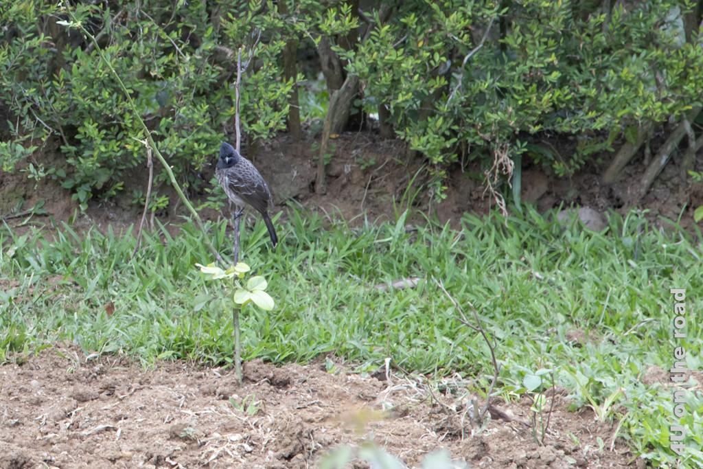 Bulbul im Rosengarten - Botanischer Garten Peradeniya