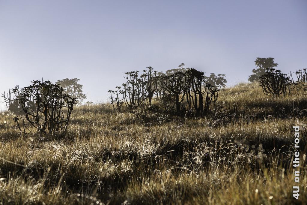Gräser und Rhododendren im Morgendunst (Horton Plains Nationalpark)