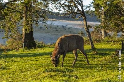 Dieser Hirsch lässt sich von den Besuchern nicht beim Essen stören - Horton Plains Nationalpark