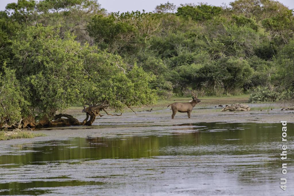 Sambarhirsch voll konzentriert auf einen Rivalen in einiger Entfernung - Yala Nationalpark