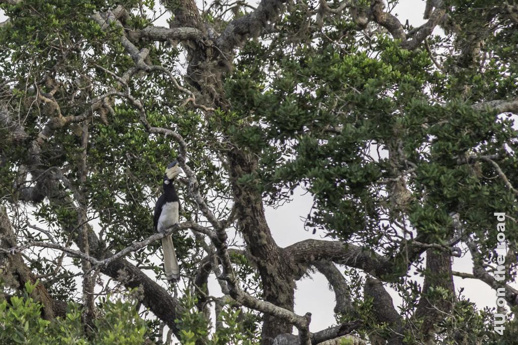 Im letzten Licht des Tages entdecken wir diesen Hornvogel im Baum. - Yala Nationalpark